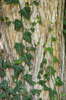 Efeuranken am Stamm einer Sumpfzypresse