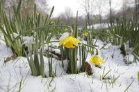 Gelbe Narzisse, Osterglocke, Osterglöckchen, Märzenbecher, Narcissus pseudonarcissus, daffodil