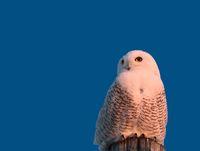 Snowy Owl on Pole