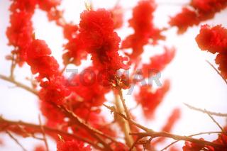 Rote Pfirsichblüten