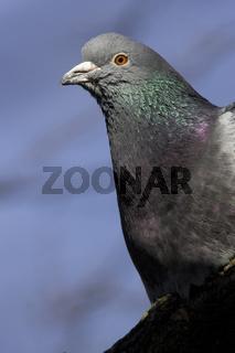 Taube, Haustaube, Columba livia domestica, Domestic pigeon
