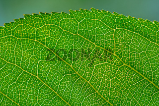 Leaf texture with veins