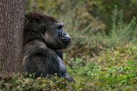 Western Lowland Gorilla XI