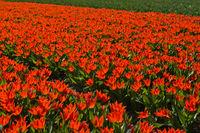 Rote Zwergtulpen, Lisse bei Leiden, Niederlande