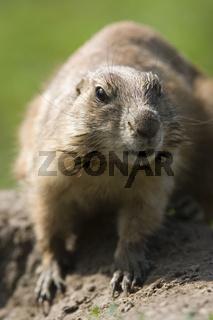 Schwarzschwanz Praeriehund, Cynomys ludovicianus, Black-tailed prairie-dog