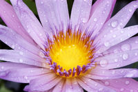 Drops on water lily 002