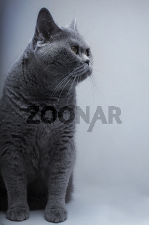 Portrait of Beautifu funny domestic gray British cat closeup