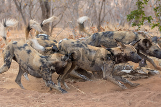pack of wild dogs in Kruger National Park South Africa