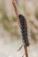 Bromberspinner Raupe, Macrothylacia rubi, Fox Moth Caterpillar