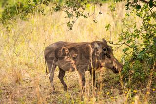 Isolated Phacochere in the savannah countryside of Nairobi Park in Kenya
