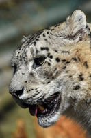 Close up side portrait of snow leopard