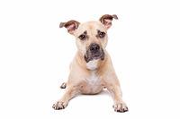 Staffordshire-bull terrier