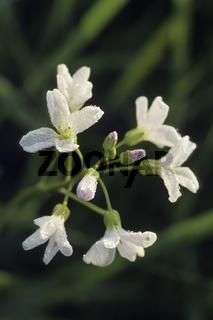 Wiesen-Schaumkraut (Cardamine pratensis)