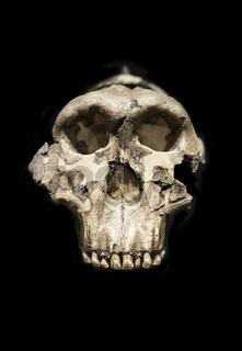 Cranium of OH 5 Zinj, Paranthropus boisei