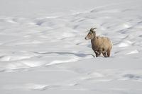 zwischen Schneehügeln... Dickhornschaf *Ovis canadensis*