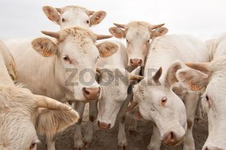 Charolais Rinder