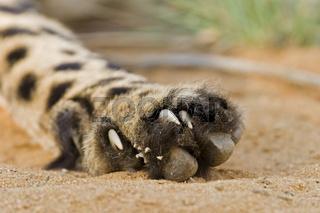 Pfote mit Krallen, Gepard (Acinonyx jubatus), Namibia, Afrika, Cheetah, paw with claws, Africa