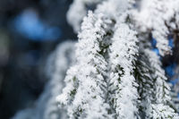 ice frost on pine leaves