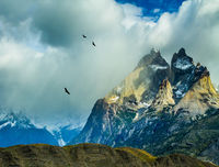 Flock of Andean condors flying