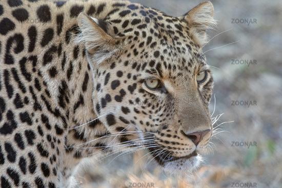 Portrait of A leopard Kruger National PArk