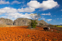 Farming on the famous tobacco area, Valley de Vinales, Cuba.