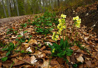 Waldschluesselblume; Hohe Schluesselblume; am einem Waldweg