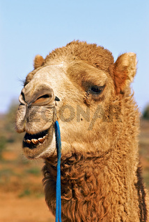 close up of camel
