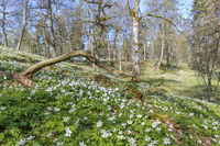 Wood Anemone in a beautiful spring woodland