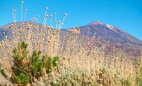 Cheirolophus teydis Teide