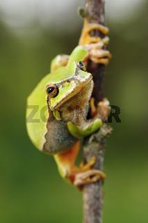 cute european green tree frog ( Hyla arborea ) on a twig
