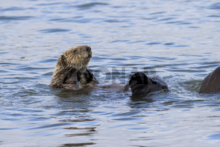 sea otter raised his head above the water a winter sunny day at the shore of Bering Island