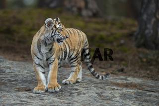 abwartend un beobachtend... Königstiger *Panthera tigris*