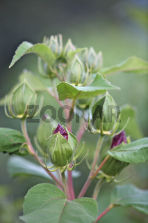 Hibiskus, Hibiscus, Sorrel, Tessin, Schweiz, Switzerland