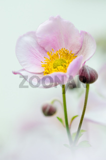 Pale pink flower Japanese anemone, close-up