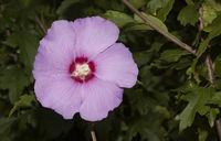 Garten Hibiskus Hibiscus syriacus