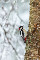 Great Spotted Woodpecker on the tree trunk