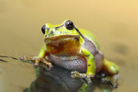 cute european tree frog standing on wet glass surface ( Hyla arborea )