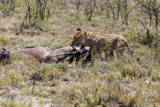Löwe mit Antilope als Beute