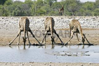 Giraffen beim Trinken am Wasserloch, Giraffa camelopardalis im Etosha-Nationalpark, Namibia, Afrika, Drinking giraffes at a waterhole, Etosha National Park, Namibia, Africa