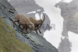 Kämpfende Alpensteinböcke (Capra ibex), männlich, Kärnten, Österreich, Europa