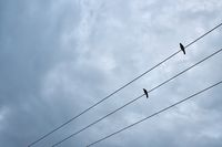 Black birds sitting on electric cable