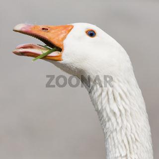 Gans - poultry