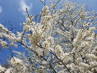 Kirschpflaume, Prunus, cerasifera