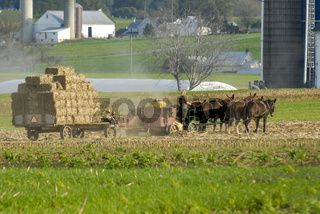 Amish Family Harvesting the Fields With a 6 horse Team on a Warm Autumn Sunny Day dust and dirt Blowing