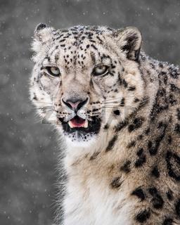 Snow Leopard in Snow Storm VI
