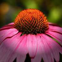 Sonnenhut, Echinacea purpurea