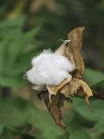 Fruchtende Baumwolle, Cotton