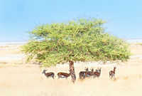 unterm Schattenbaum Springböcke Namibia