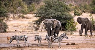 Elefanten und Zebras im Kruger Nationalpark Südafrika; african elephants and zebras in south africa, wildlife