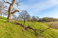 Old tree snag in a rural spring landscape